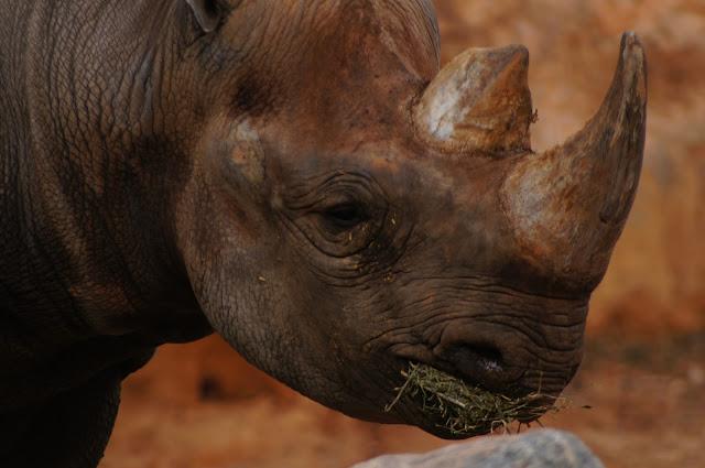 rhinoceros royalty free photo image