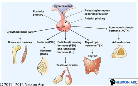Functions of Anterior Pituitary Hormones