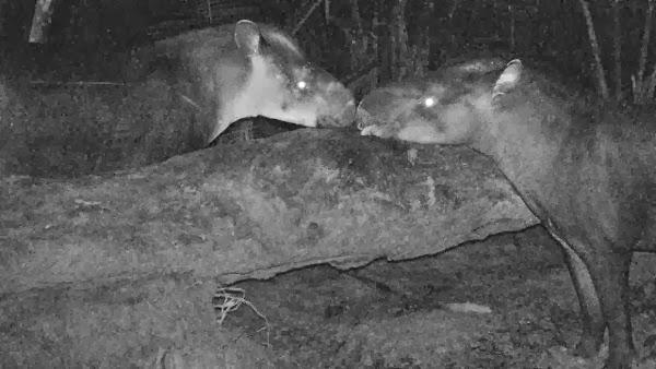 tapir kabomani, spesis baru