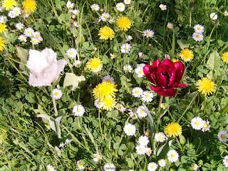 tulipa branca com borda franzida