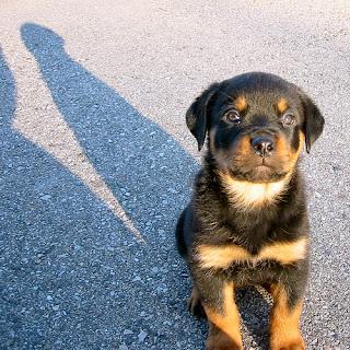 Rottweiler Puppy Image