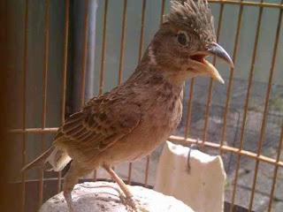 Download Mp3 Kicau Burung Branjangan Gacor Dan Merdu