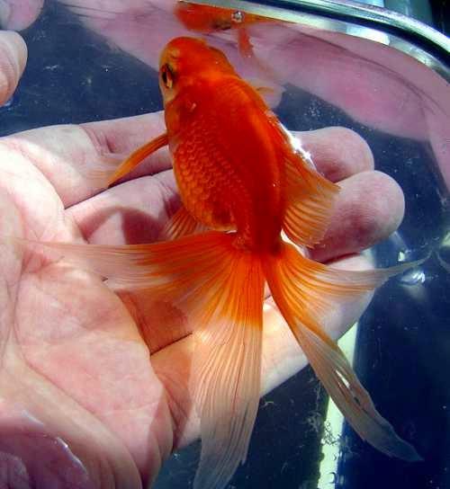 Breeding Gold fish