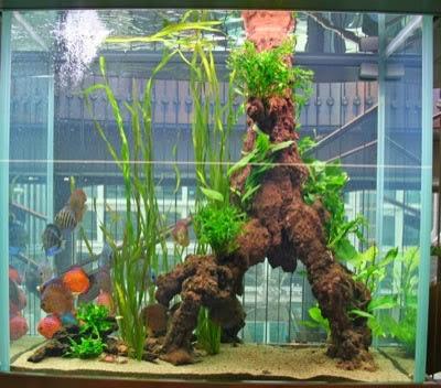 La vie de mon aquarium installation des racines for Racine aquarium
