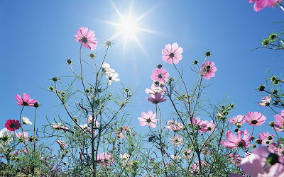 pink and white cosmos against a bright blue sky with wispy clouds