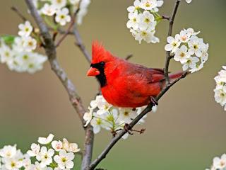 Ptica kardinal slike besplatne pozadine za desktop download