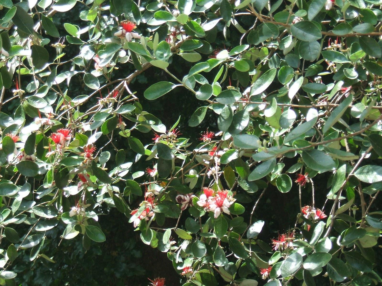 plantas para jardim altas:Exemplar existente no Jardim Botânico de Lisboa. Fotgrafias de 2007.