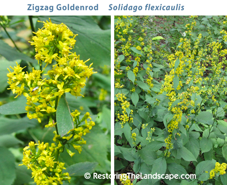 Restoring the landscape with native plants 12 great native plants the bright yellow flowers are a welcome site in the woodland landscape the leaves are very attractive mightylinksfo