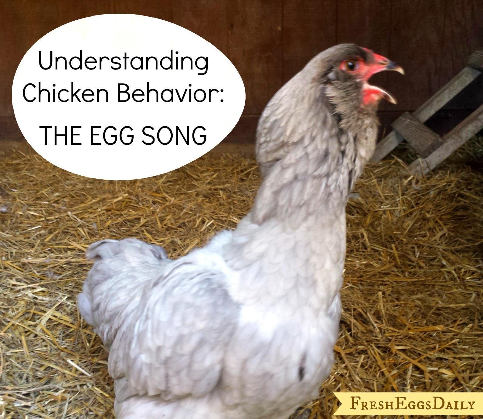 understanding chicken behavior interpreting the egg song fresh eggs daily. Black Bedroom Furniture Sets. Home Design Ideas