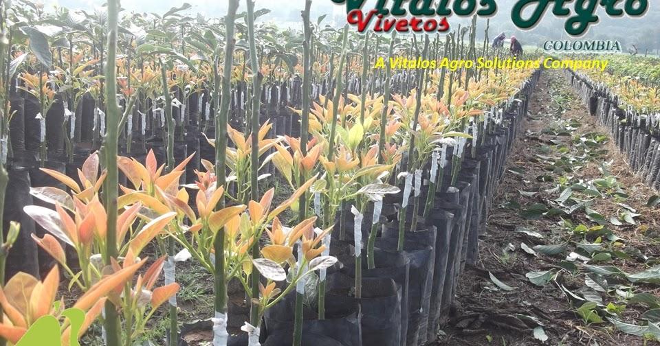 Viveros de aguacate hass y hass selecci n m ndez nuestras for Viveros en colombia