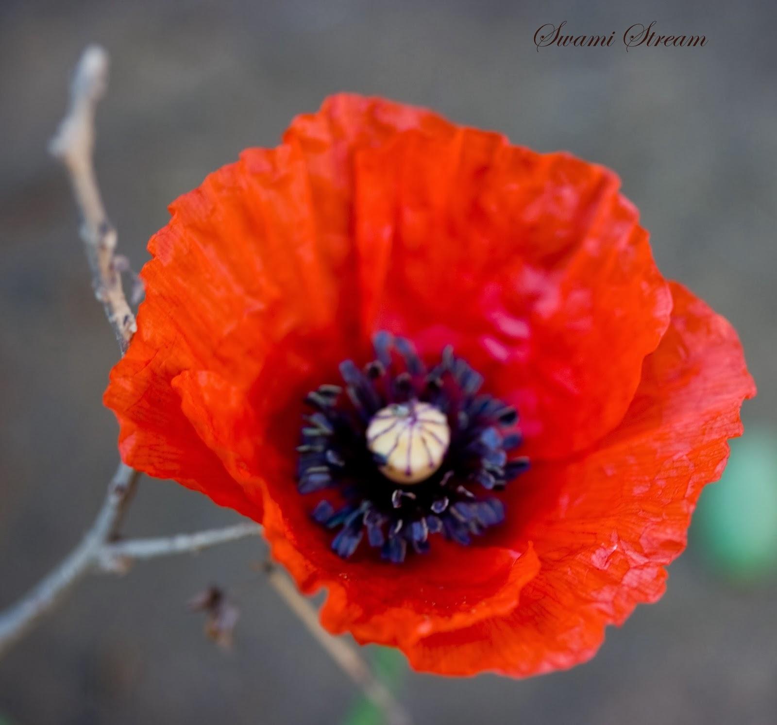 Poppy War Red Vs White Diversity Tree