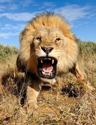 Foto león ruje