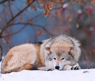 La mort du loup