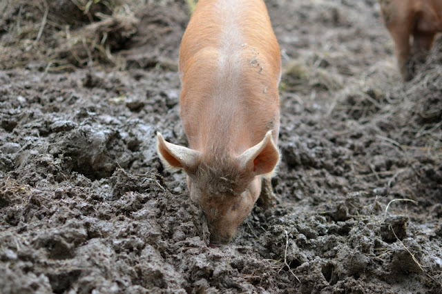 The Lost Gardens of Heligan in Cornwall piglets