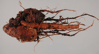 Dahlia tuber with bacterial soft rot