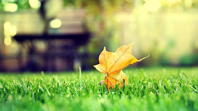Leaf in Lawn HD Wallpaper