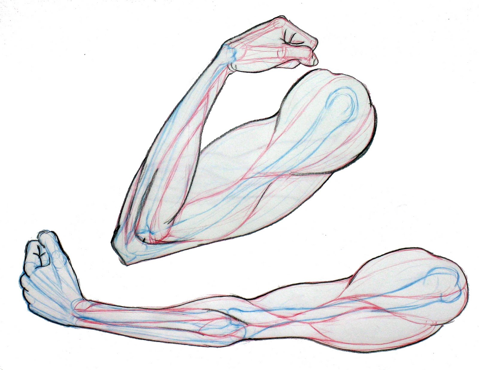 Dog Drawings - As with the  Arm Muscles Drawing