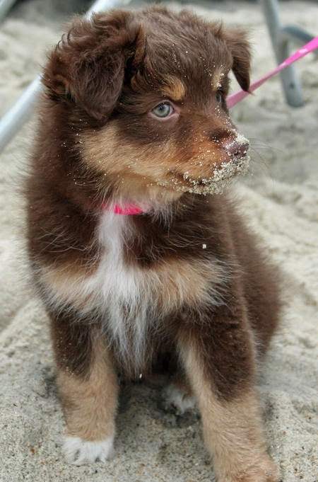 Bella the Australian Shepherd - ohhmygosh