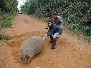 El tatu carreta el armadillo argentino