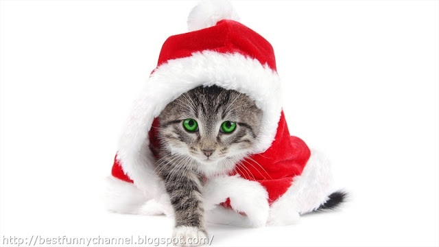 Funny cat in red cap.