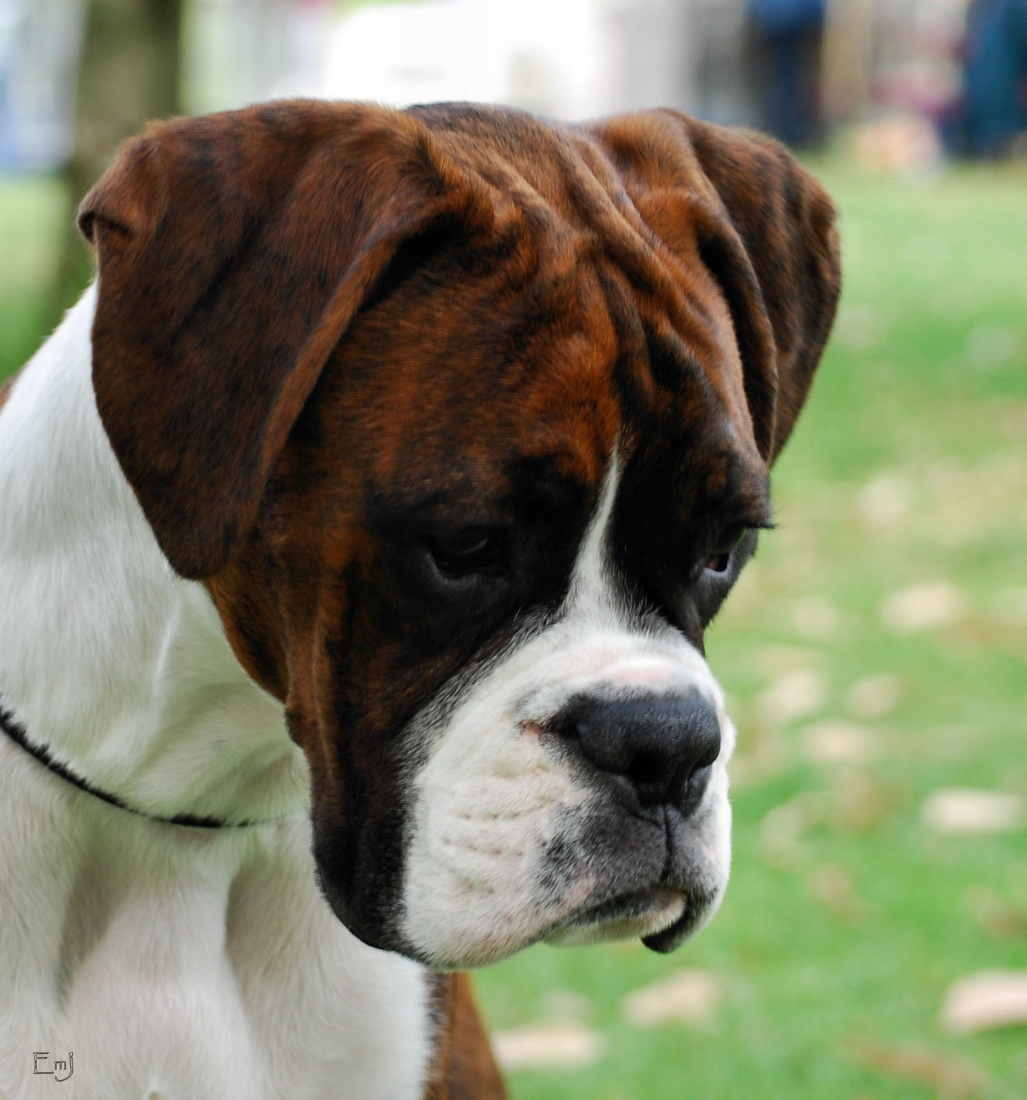 The Dog Hd Wallpapers: Sad Boxer Dog Hd Wallpaper