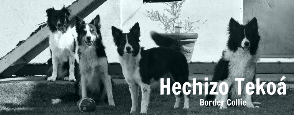 Hechizo Tekoá Border Collie