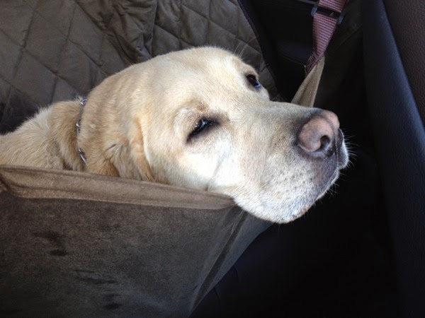 Tired Labrador car hammock