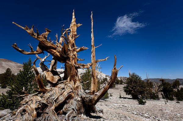 عينات '' لاقدم شجرة'' في العالم بالصور 5_bristlecone.img_assist_custom-600x400
