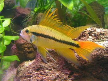 Akvaryum kakadu çiklit balığı hakkında bilgi