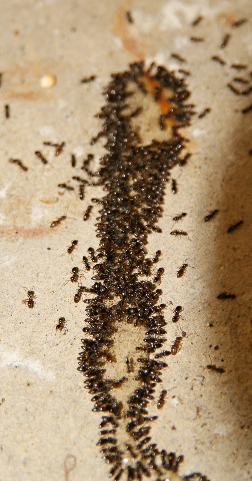 I have ants in my house - I Called Pest Control No Matter What I Did They Would Not Go Away And I Was Not Willing To Buy Some Recommended Products As They Are Harmful For Pets And