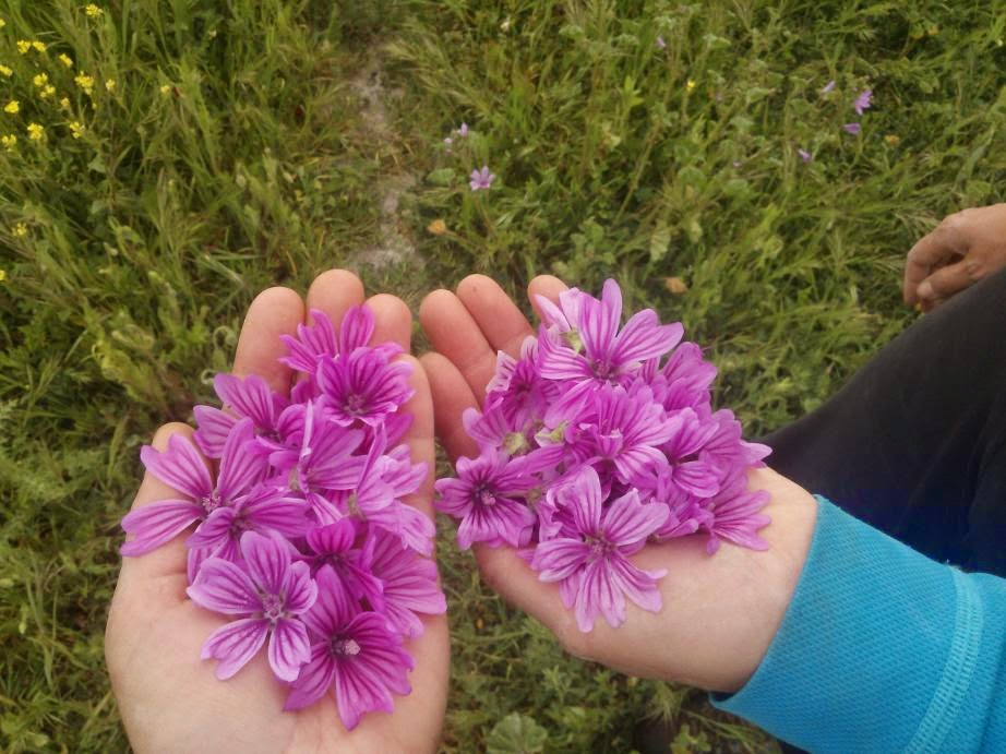 Flores de malva recién recogidas