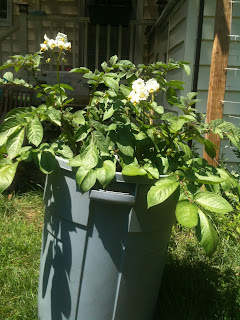 potatoes blossoms on trash can potatoes
