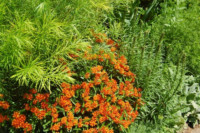 Weed Plants In Backyard : Toronto Gardens Butterfly weed One weed you want