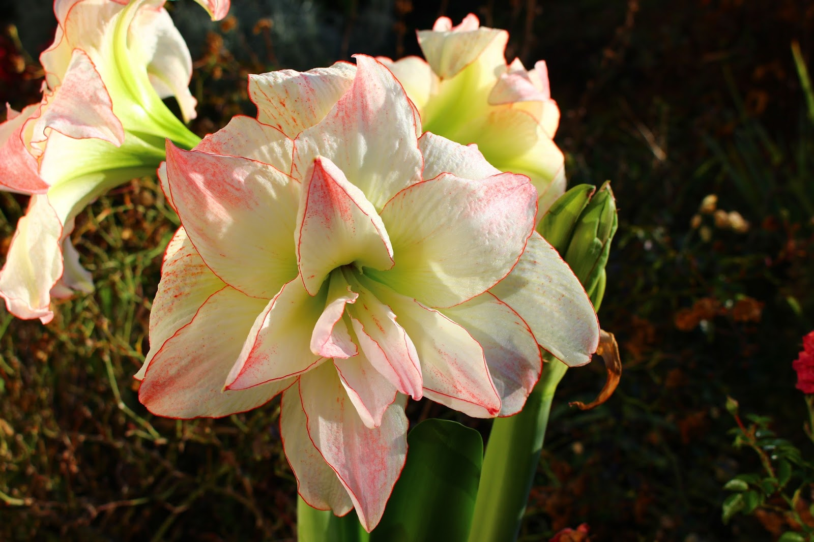 Roses du jardin ch neland amaryllis aphrodite for Amaryllis taille