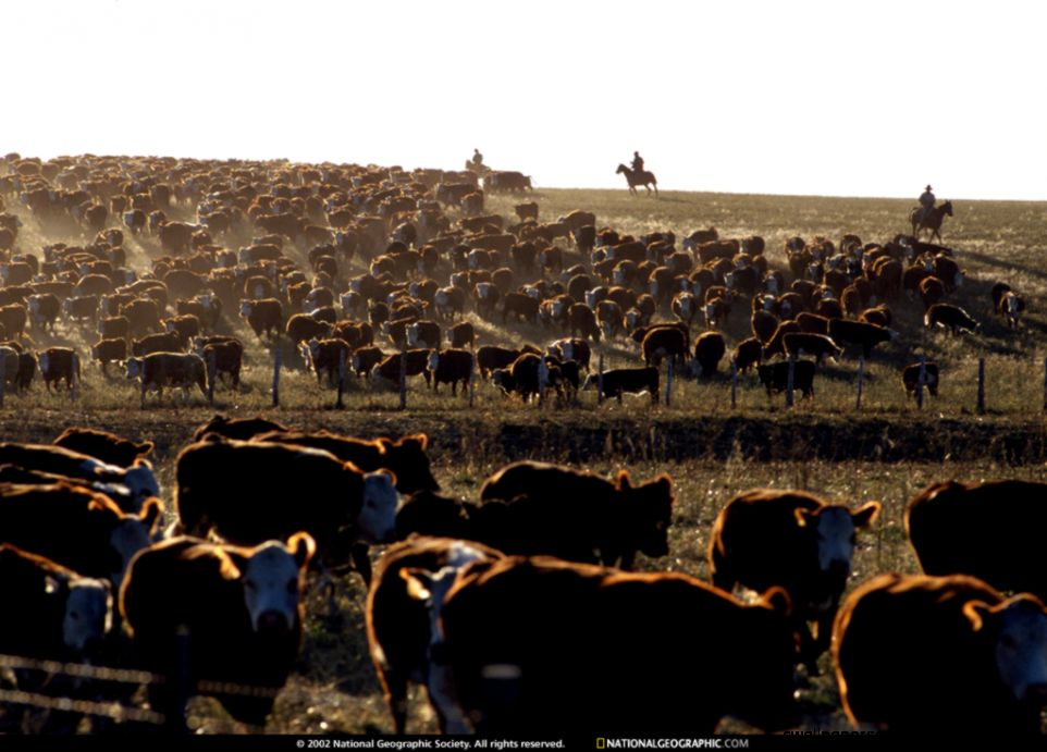Utah Cattle Roundup 1993 Photo of the Day Picture Photography