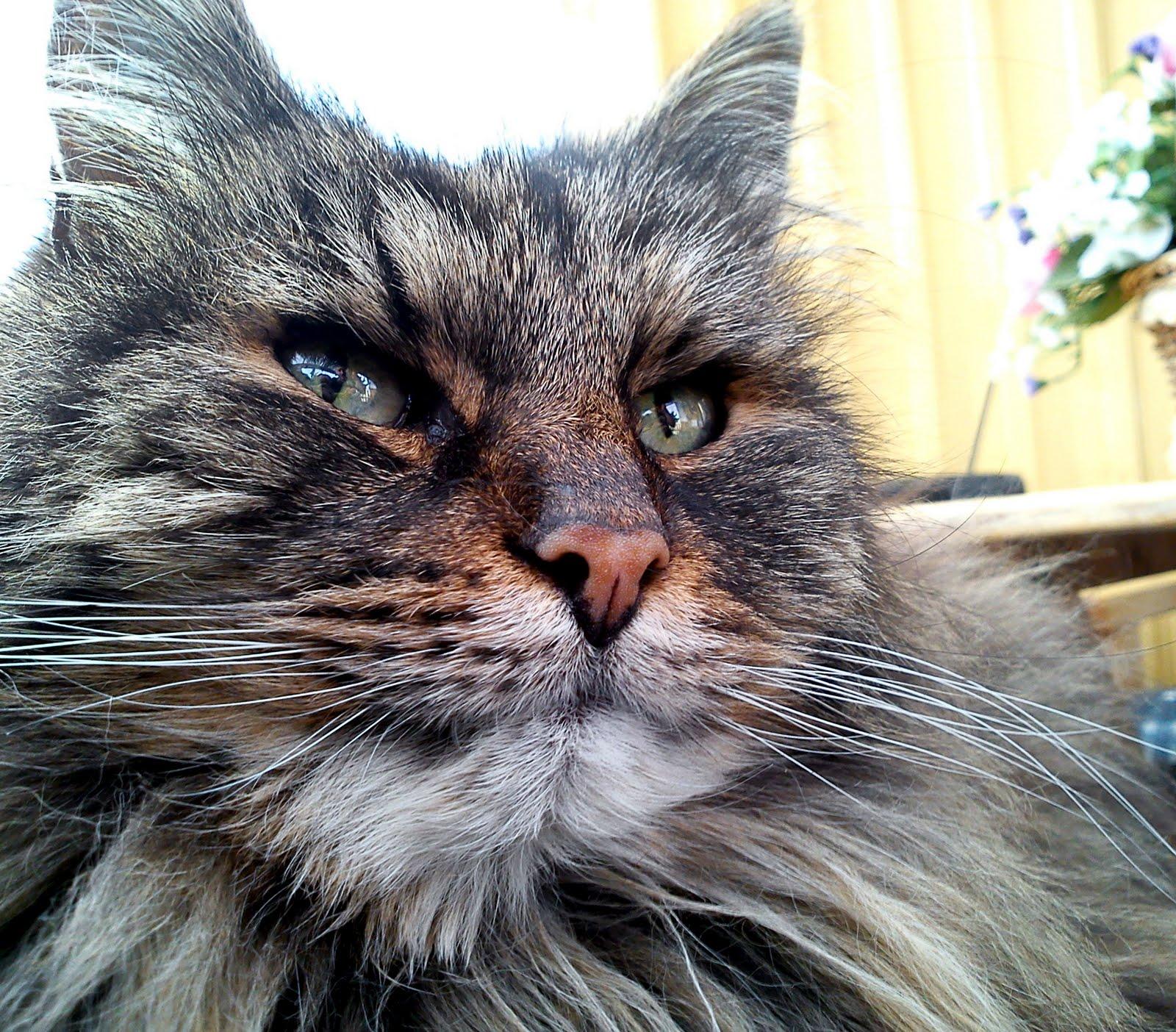 Noskvalster katt symptom