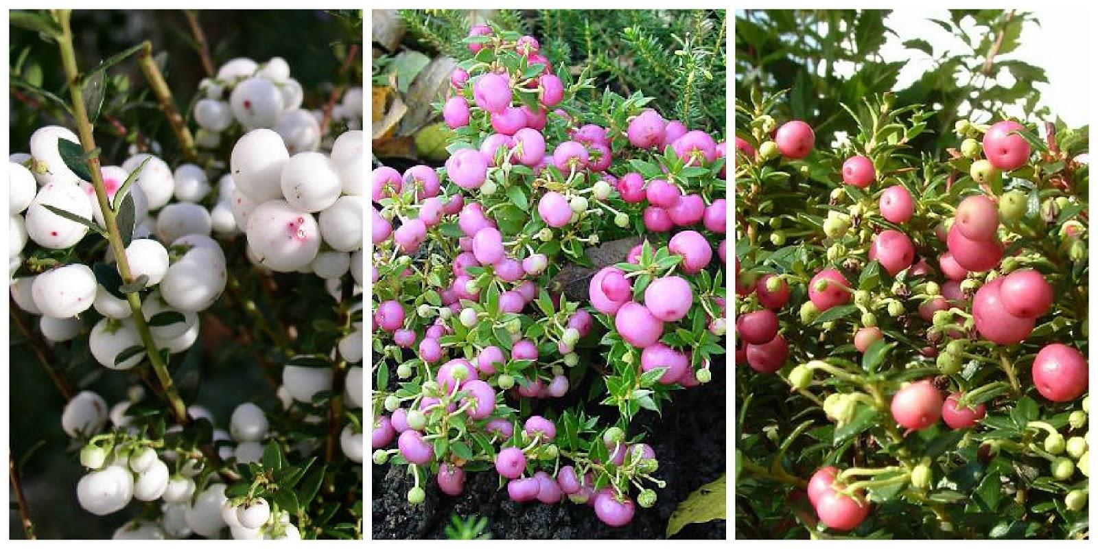 Tra orto e giardino due piante per natale il - Piante da giardino con bacche rosse ...