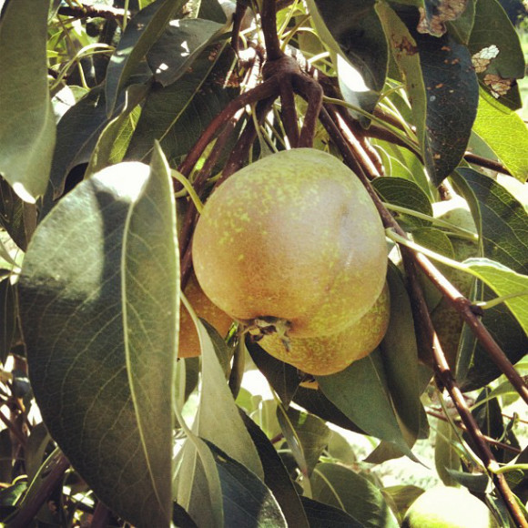 nature,Country lanscapes,Santiago, Chile, iPhoneography Selection January 7 2013,pablolarah,Pablo Lara H Blog.pears