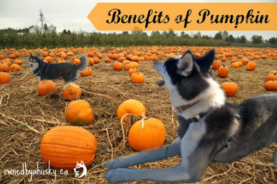 benefits of feeding pumpkin to dogs
