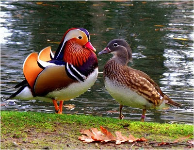 The Mandarin Duck Does Not Exceed 45 Cm 17 In Length Is Small And Sturdy Weighing No More Than 11 Lb 500 Grams Feeds On Algae Seeds