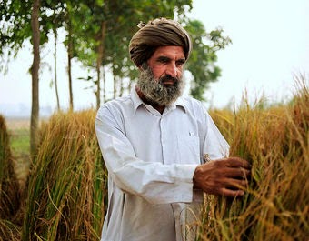 Rice farmer in Punjab, India (Credit: Neil Palmer, CIAT) Click to enlarge.