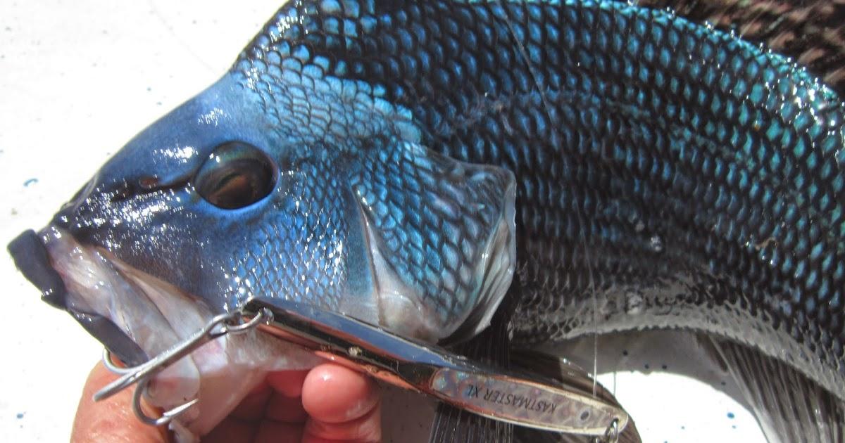Rhode island striped bass buzzards bay a hotspot for for Striper fishing ri