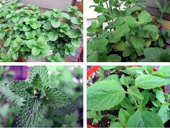orange mint, peppermint, cat mint, vietnamese mint
