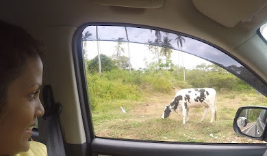 UP CLOSE TO COW ON THE WAY TO ICACOS;  MOO!