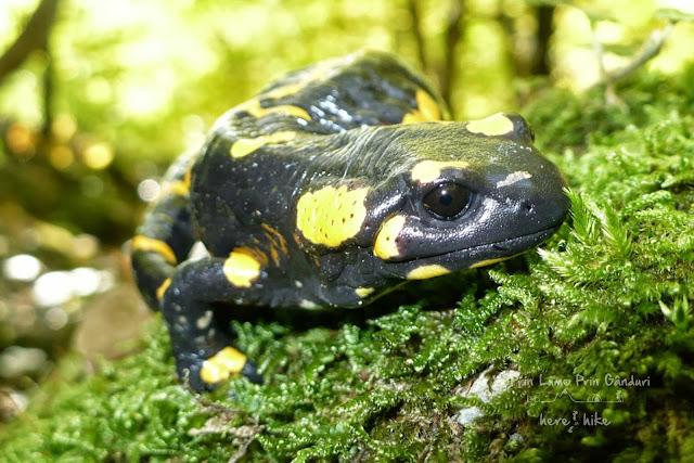 cerna-valley-prisacina-salamander