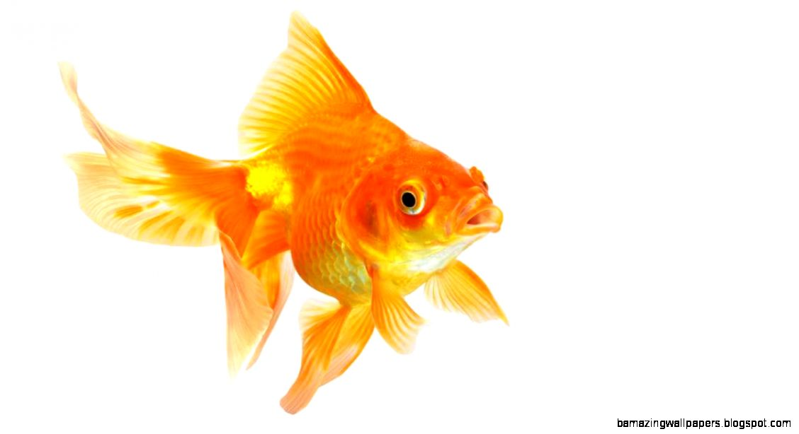 Microsoft Humans have shorter attention span than a goldfish