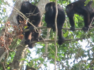 Yelling Howler Monkeys