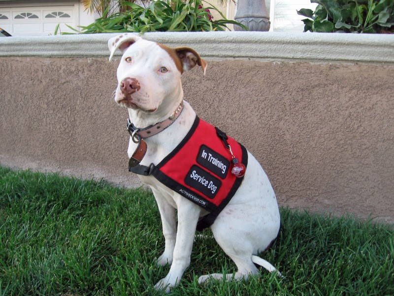 Such Good Dogs Service Dog Requirements Basic Info