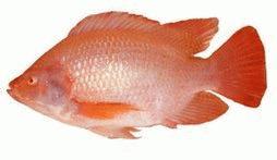 Ambientes de aprendizaje en piscicultura especies de for Piscicultura tilapia roja