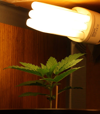 Lights for indoor cannabis plantation